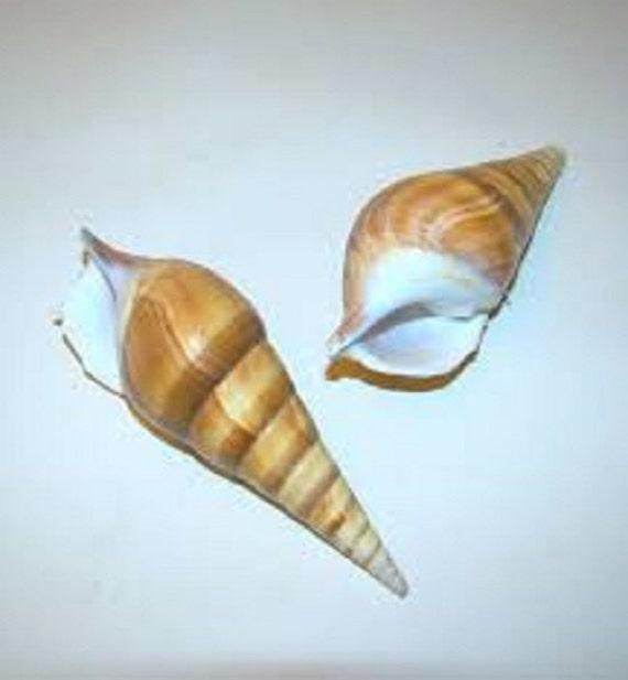 Basket Weaving Supplies Raleigh Nc : Bulk arabian tibia curta seashell wedding coastal beach