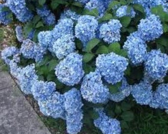 Nikko Blue Mophead Hydrangea - Live Plant - Quart Pot