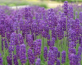 PURPLE LAVENDER SEEDS 25 Fresh seed ready to plant in your garden