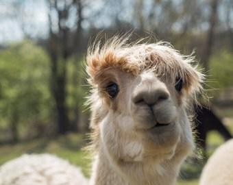 Beige suri raw alpaca fiber