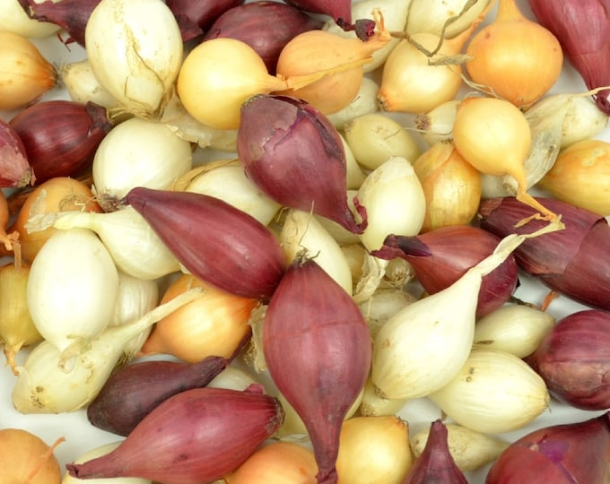 Mixed Red White and Yellow Onion Sets Organic Non-GMO | Onion Bulbs Shipping Now 4 Pounds
