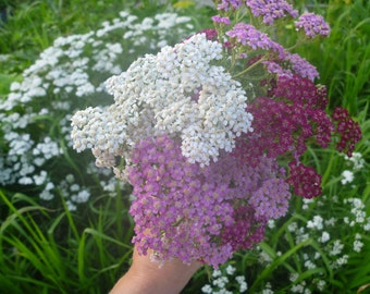 Yarrow, Mixed - perennial medicinal herb & flower seeds