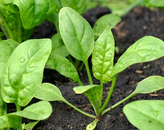 Spinach organic seeds, heirloom spinach seeds,63,greek spinach pie,spinach,greek spinach,delicious spinach,popey,gardening