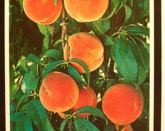 4 5 Redskin Peach Tree Fruit Popular Plant Freestone