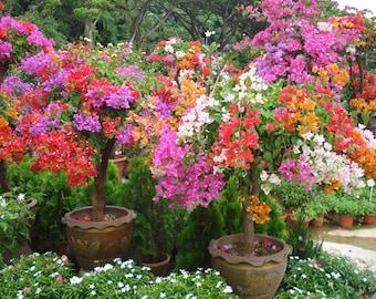 Bougainvillea Plant Seeds - Grow Indoors/Outdoor or Bonsai, Beautiful Tropical vine - 'Bougainvillea Spectabilis !