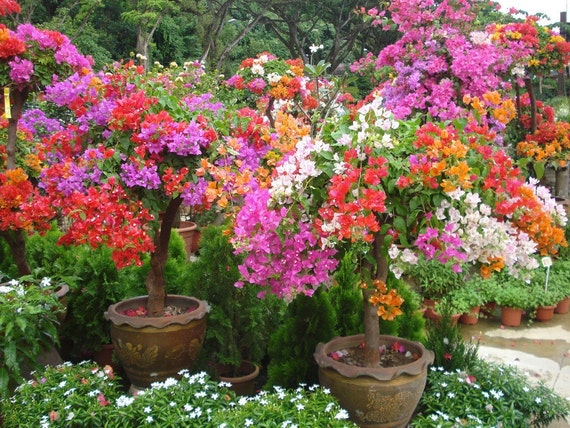 Bougainvillea Plant Seeds - Grow Indoors/Outdoor or Bonsai, Beautiful Tropical vine !