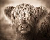 Highland Cow Print - Modern Rustic - Scotland Photography - Baby Animal Print - Scottish Cow Photography - Scottish Animal Art