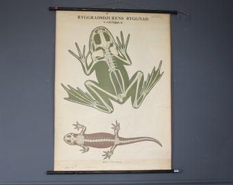 Vintage Antique Swedish Zoological School Chart Frog And Lizard.