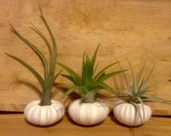 Sea Urchin Air Plant Kit Set of 3