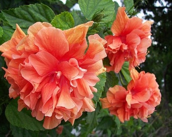 Tropical Hibiscus Plant Collection, Double Orange Flower, A Perfect Gift!