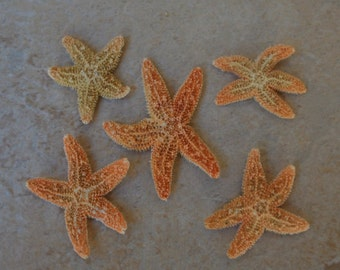 "Small Sugar Starfish (5 pcs.) - (.75-1.5"") - Piaster Ochraceus"