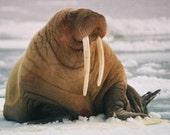 Stephen's Walrus