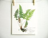 Pressed Fern Botanical Print, Herbarium Specimen Art, Real Pressed Plant, Scientific Art, Dried Plant with Roots, Print of Original, no. 41