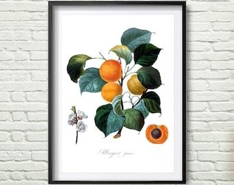 3 Colors Background, Antique botanical print, Apricot Print, illustration digital download, Botanical Vintage Art Prints, Vintage poster *8*