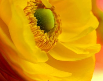 Yellow Flower Print, wall art, Yellow Ranunculus, Bedroom Decor, Yellow Flower,Yellow, Ranunculus, Bedroom, Home Decor,