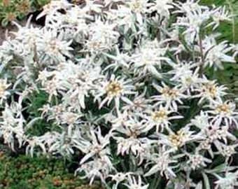 Edelweiss- Leontonpodium- 100 Seeds