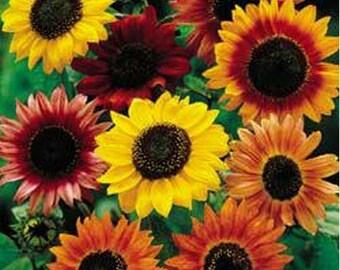 Sunflowers-Various- Autumn Beauty mix, Teddy Bear, Mexican Orange, Maximillan- 100 Seeds each pack