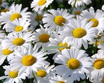 Shasta Daisy-Chrysanthemum Maximum * 100 Seeds