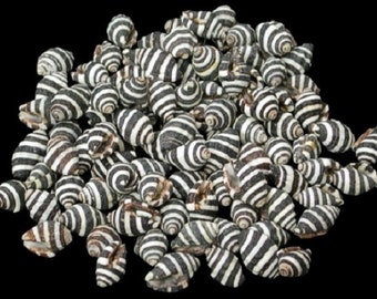 Beach Decor Seashells-Bumble Bee Snail Shell-Black and White Striped Shells-Nautical Decor-Coastal Decor-Wedding Seashells-Bulk Seashells