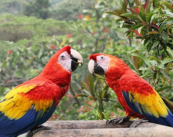 Parrot Print, Two Birds, Tropical Print, Colorful Wall Art, Pair, Costa Rica, Nature Photography, Wildlife Decor, Bird Art, Colorful Prints
