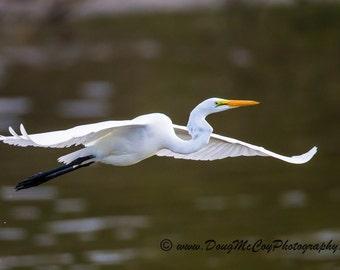 Great Egret #4030
