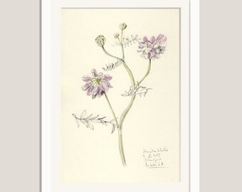 Flower watercolour drawing - PRINT of Vetches #1- pencil and watercolour drawing - botanical floral print by Catalina S.A