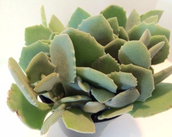 Medium Succulent Plant Kalanchoe Millotii. A beautiful pale green plant with fleshy, suede textured leaves.