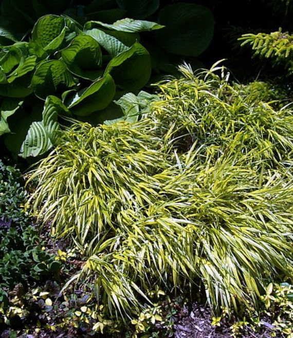 Golden japanese forest grass hakonechloa aureola by for Japanese mounding grass