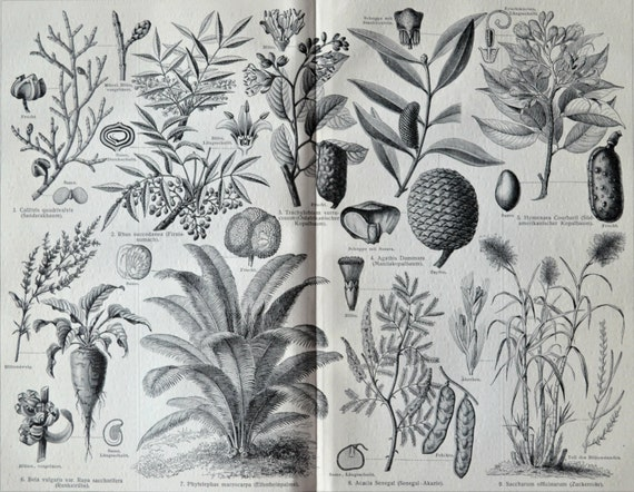 Plants used in industry. Botany print.  Old book plate, 1904. Antique  illustration. 112 years lithograph. 9'6 x  11'9 inches.