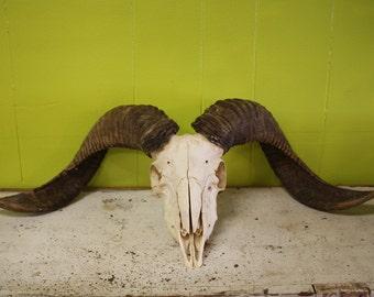Large Ram Skull