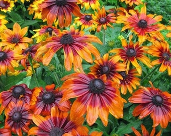 Rudbeckia Autumn Forest Flower Seeds (Rudbeckia Hirta) 200+ Seeds