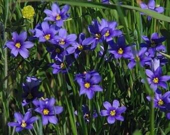Blue Eyed Grass Seeds (Sisyrinchium bellum) 50+Seeds