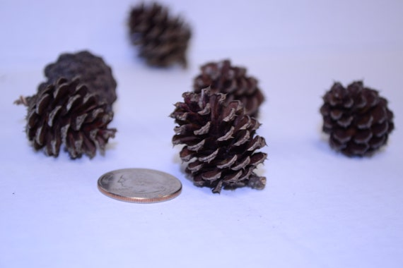 100 small pinecones real tiny pine cones for decorating for Small pine cone crafts