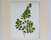 Real Pressed Maidenhair Fern Botanical Art Herbarium 11 x 14  with Mat