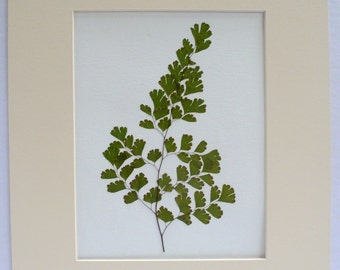 Real Pressed Maidenhair Fern Botanical Art Herbarium 11 x 14  with Mat