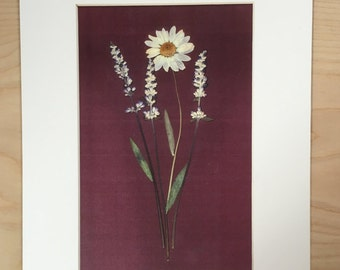 Pressed Flower Art Print - White Daisy with Lavender