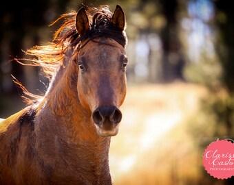 "Quarter Horse Stallion Photographic Print, ""Here Comes the Sun"""