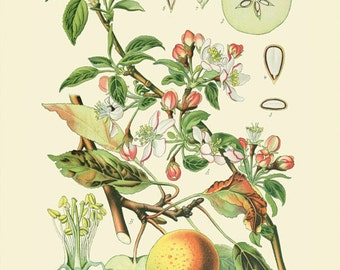 Apple (Rosaceae Pomeae) - reproduction of an old botanical illustration