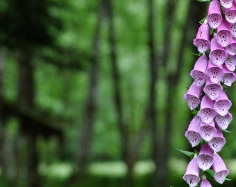 Fox gloves in the Quinalt Rainforest
