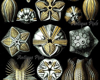 Blastoidea, fossils, Ernst Haeckel Scientific Illustration, printable instant download, Digital Image, High Resolution, Two (2) JPG, no.A97