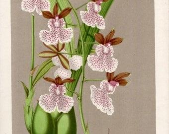 1845 Botanical Print, Orchid Illustration, Caucaea olivacea, Oncidium cucullatum, Antique Print, Vintage Lithograph, Botany Art Print