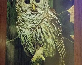 Vintage Barred Owl Postcard