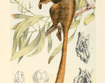 Leadbeater's Possum Marsupial Victorian Vintage Giclée 12x8 Art Print Mammal Science Antique
