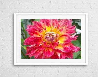 Pink Dalia Art Photo Framed