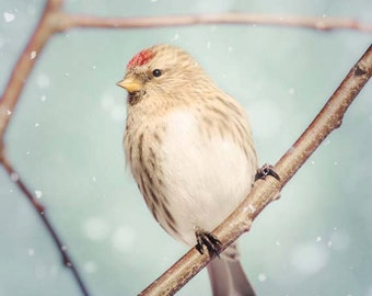 Bird Photography, Animal Wall Art, Bird Art Print, Winter Photography, Nature Photography, Winter Art Print, Redpoll in Snow No. 10