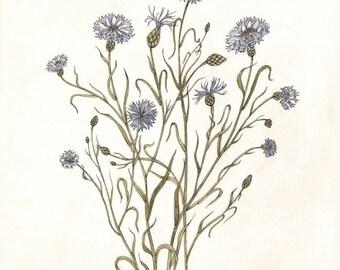 Cornflowers - Print