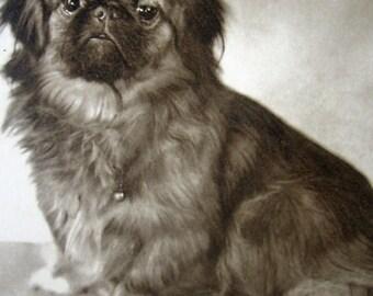 Vintage dog photo postcard, Vintage Pekingese photo postcard, Vintage toy dog photo postcard, Antique dog postcard, Antique Pekingese dog