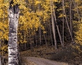 Aspen Trees Aspens Golden Fall Evening Colorado Autumn Forest Leaves October Yellow Rustic Cabin Lodge Photograph