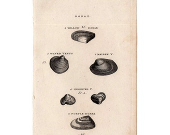 1812 ANTIQUE SHELL ENGRAVING original antique sea shore ocean print  - donax shells