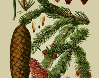 antique botanical print evergreen tree norway spruce illustration digital download